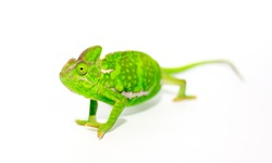 Beautiful Chameleon closeup isolated on white background. Multicolor beautiful reptile chameleon with colorful bright skin. The concept of disguise and bright skins. Exotic tropical animal.