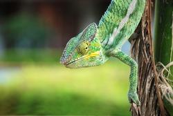 beautiful chameleon photographed in madagascar