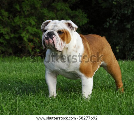 beautiful champion male english bulldog standing in the grass