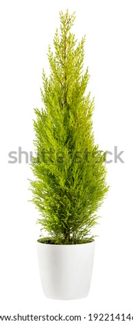 Beautiful chartreuse-coloured foliage of an evergreen Cupressus wilma goldcrest cypress in a flowerpot, side view isolated on white ストックフォト ©