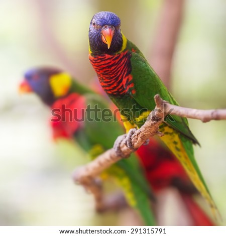 Beautiful Chattering Lory Lorius standing on a branch #291315791