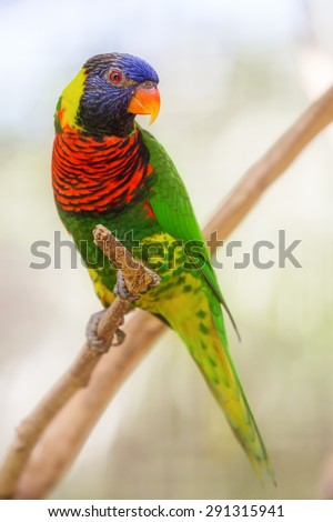 Beautiful Chattering Lory Lorius standing on a branch #291315941