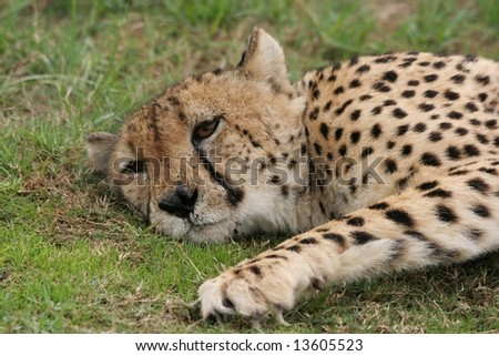 Beautiful cheetah cat lying down with it's head on the ground
