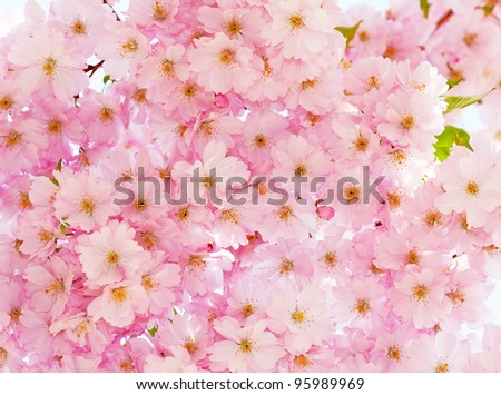 Beautiful cherry bloom background.