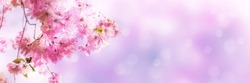 beautiful cherry blossom branch on pink abstract blurred background, sunshine on flowers in springtime