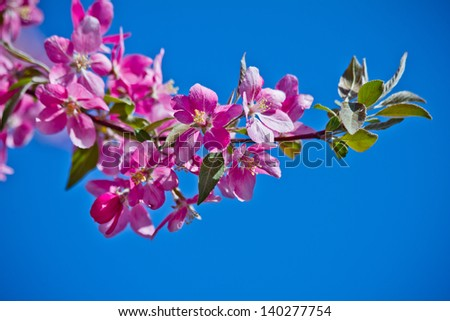 Beautiful cherry blossom flower with blue sky as background