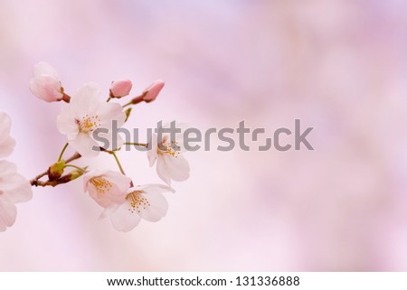 Beautiful cherry blossom in spring with bright pastel pink background. - stock photo
