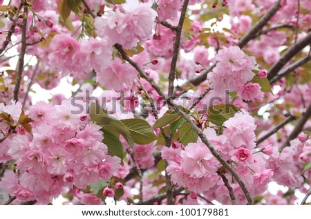 beautiful cherry blossom in springtime - stock photo