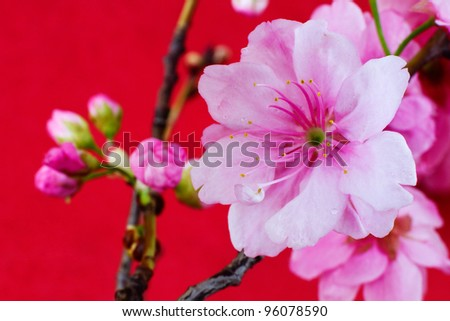 Beautiful Cherry Blossom on a red background