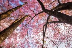 Beautiful cherry blossom sakura flowers