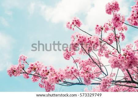 beautiful cherry blossom sakura ...