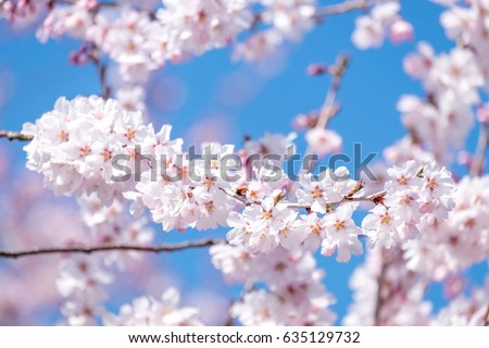 Beautiful cherry blossom sakura in spring time over blue sky. - Shutterstock ID 635129732