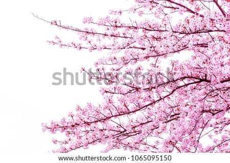 Beautiful cherry blossom sakura in spring time over blue sky.Cherry blossom in full bloom.