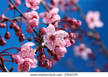 Beautiful cherry blossoms, shallow dof, focus on the center blossom.