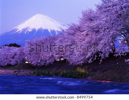 Beautiful cherry blossoms with snow-capped Mount Fuji in evening