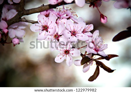 Beautiful cherry tree blossom in the spring