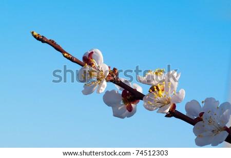 beautiful cherry tree on blue sky