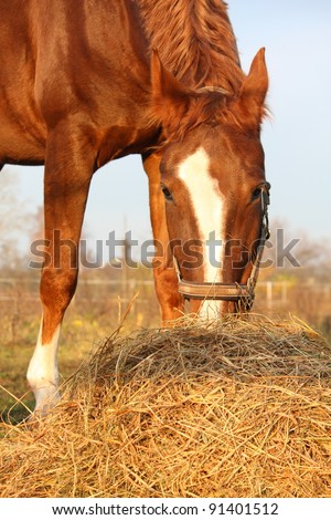 Beautiful chestnut horse eating hay