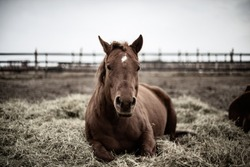 Beautiful chestnut horse laying in straw outside in winter, happy and calm quarter horse