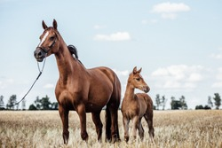 beautiful chestnut Mare with a foal