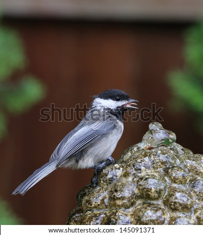 stock-photo-beautiful-chickadee-perched-on-a-garden-fountain-145091371.jpg