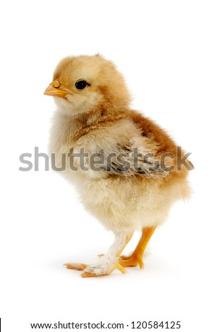 beautiful chicken isolated on white background