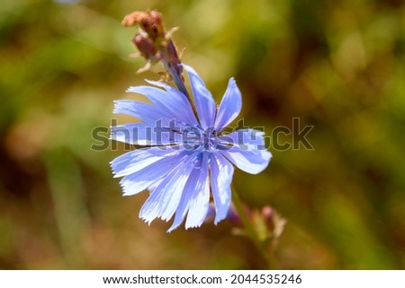 Photo of Beautiful chicory flower on an unfocused field background. High quality photo. Selective focus