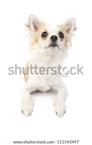 beautiful chihuahua dog lying down  over white background looking up