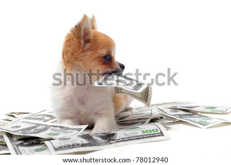 beautiful Chihuahua Puppy Holding a one hundred Dollar Bill in Mouth, on white background.