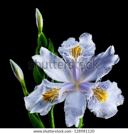 Beautiful Chinese Bamboo Iris isolated on black