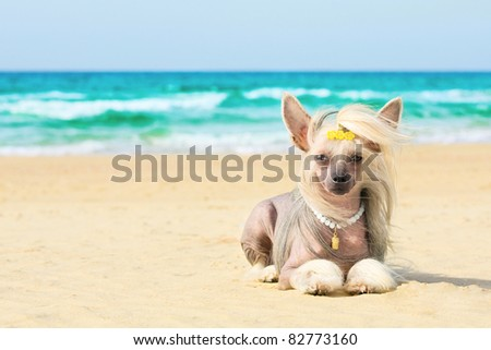 Beautiful chinese crested dog laying on the beach