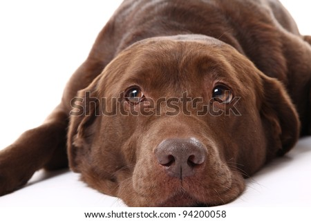 Beautiful chocolate labrador retriever