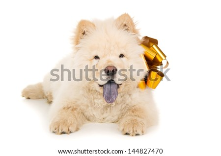Beautiful chow chow puppy with a bow #144827470