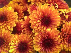 Beautiful chrysanthemum as background picture. Chrysanthemum wallpaper, chrysanthemums in autumn.
