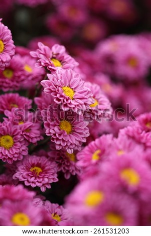 beautiful Chrysanthemum flower blooming in the garden #261531203