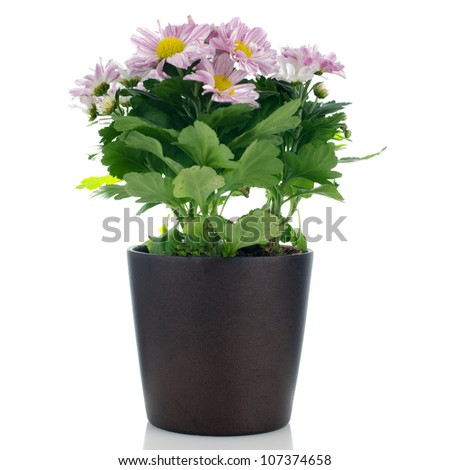 Beautiful Chrysanthemum flowers in a dark flowerpot on white background.