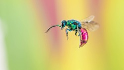 beautiful Chrysididae, close-up,
