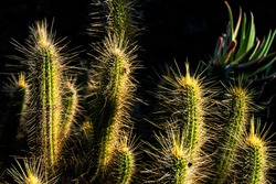 Beautiful Cleistocactus with golden spines glowing in the afternoon sun in Cactus Garden, Lanzarote, Spain.