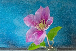 Beautiful clematis flower lying in water with water droplets.