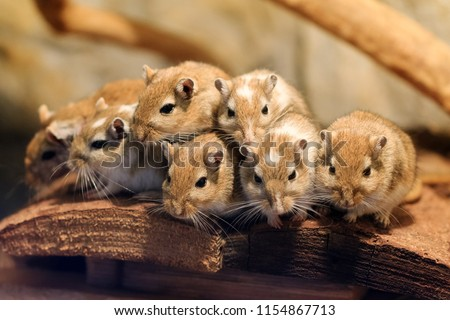 Beautiful close up a cute family of Mongolian gerbil or Mongolian jird (Meriones unguiculatus) packed together for heat