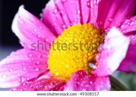 beautiful close up daisy gerbera