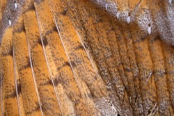 Beautiful close-up detail of barn owl plumage, Barn Owl wings with beautiful texture
