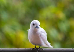 Beautiful close up of a White Tern in Hawaii