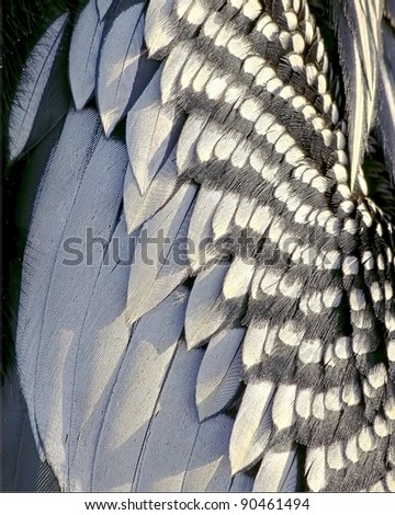 Beautiful close up of the feathers of an Anhinga, or snakebird, water fowl