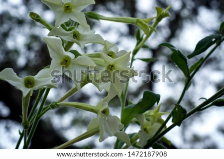 Beautiful close up of white and yellow trumpet like flowers of the night blooming jasmine tobacco plant against sky, nicotiana alata, in bloom, also known as aztec, Persian and sweet tobacco. #1472187908