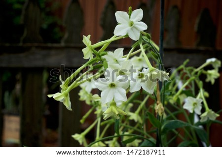 Beautiful close up of white and yellow trumpet like flowers, wet from rain, of the night blooming jasmine tobacco plant, nicotiana alata, in bloom, also known as aztec, Persian and sweet tobacco. #1472187911
