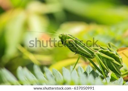Beautiful close up photo of a praying mantis.