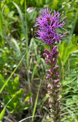 Beautiful, close-up photo of the wildflowerplant called Dense Blazing Star. Also known as Dense Gayfeather and Marsh Blazing Star. Purple feathery tufts atop a stalk.