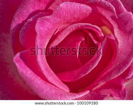 Beautiful close up pink rose background.