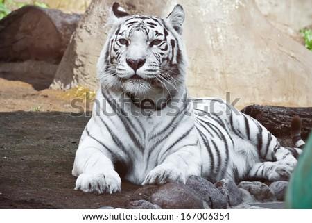Beautiful close-up portrait of majestic White Tiger #167006354